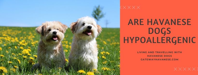 Are Havanese Dogs Hypoallergenic_