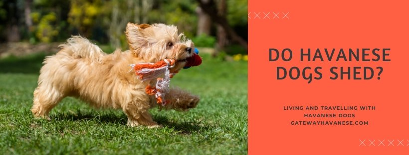Do Havanese Dogs Shed