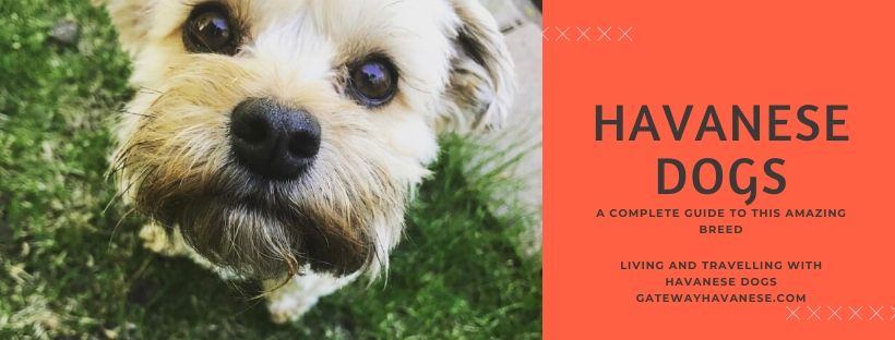 Havanese Dogs Breed facts, traits information