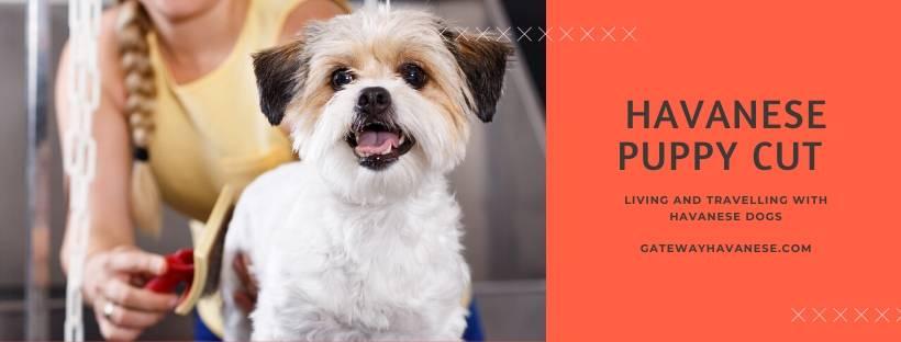 Havanese Dog Puppy Cut