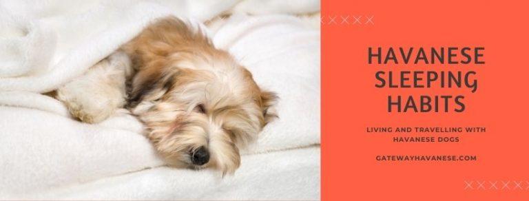 Havanese Sleeping Habits