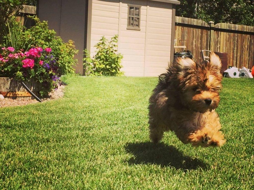 Puppy jumping on green grass