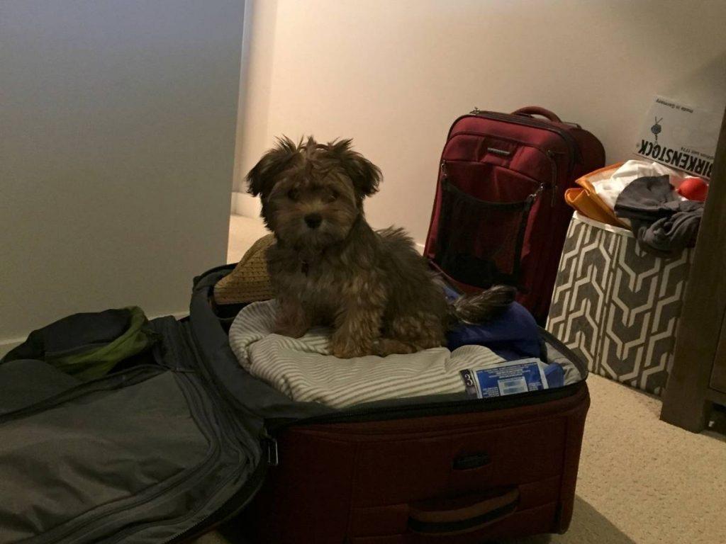 Havanese Puppy in Suitcase