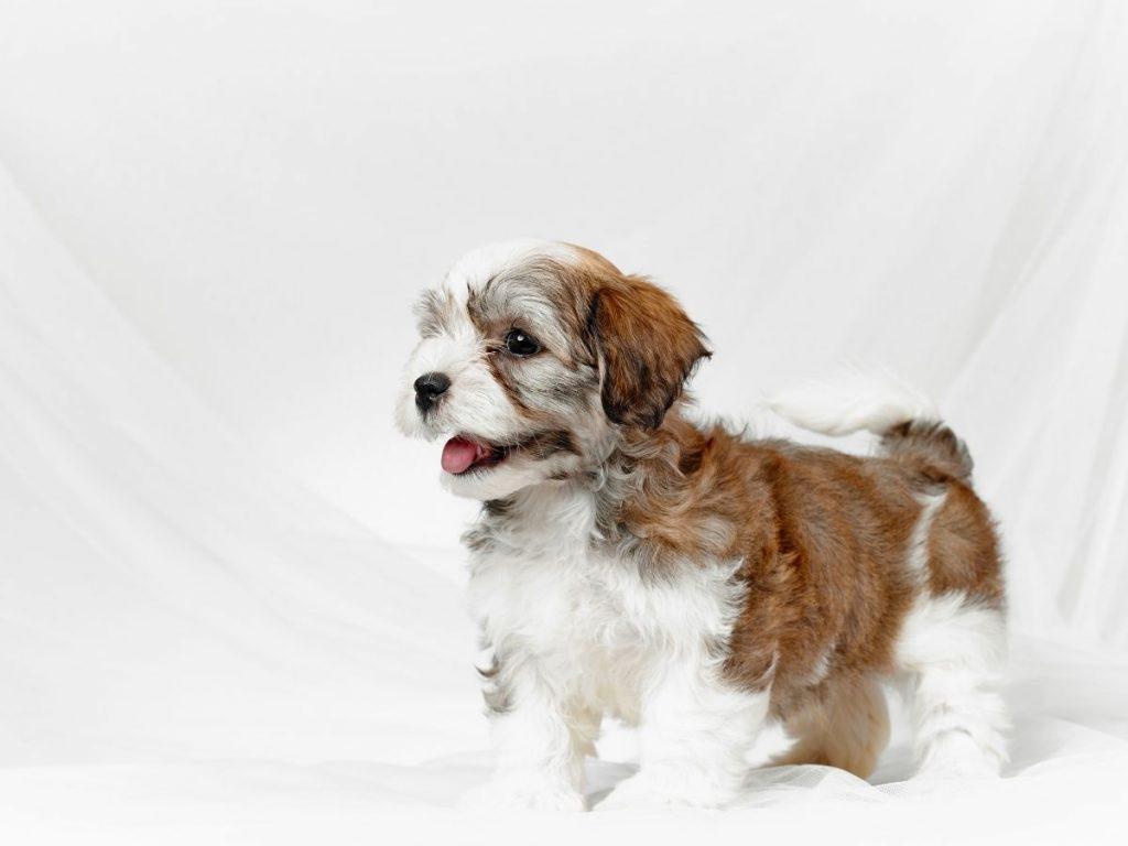 Denver havanese puppy