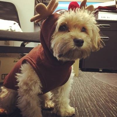 havanese wearing a Christmas outfit and not getting hair all over it.